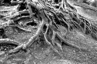 ROOTED TO THE GROUND MONO HDR MSP0004163
