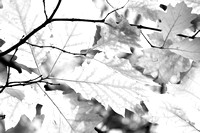 AUTUMN LEAVES MONO MSP0004606