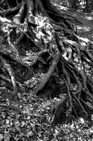 ROOTED TO THE GROUND MONO HDR MSPOOO4075